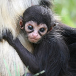 baby spider monkey facts