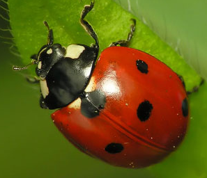 how to tell a ladybugs age