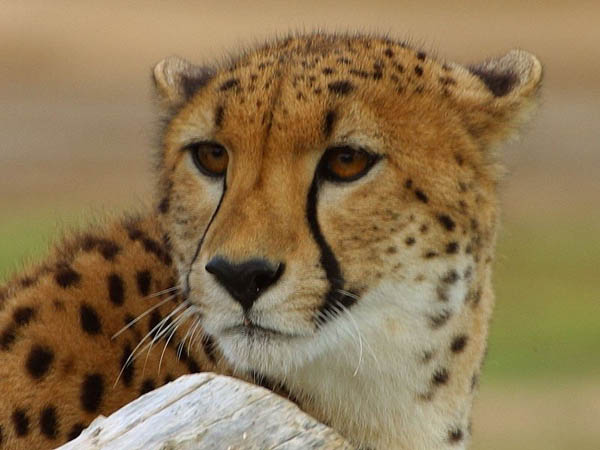 Cheetah Facts For Kids Fun And Interesting Facts About