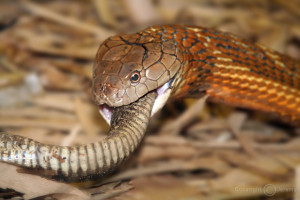 interesting facts about king cobras