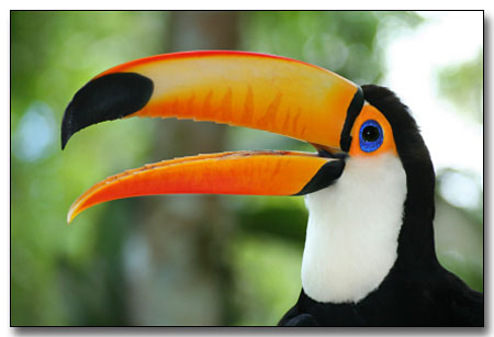 interesting facts about toucans for kids