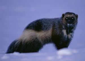 interesting facts about wolverines for kids