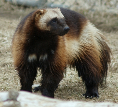 Wolverine Facts For Kids Interesting Facts About Wolverines For Kids